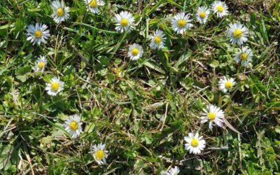 Gänseblümchen kostbare Natur